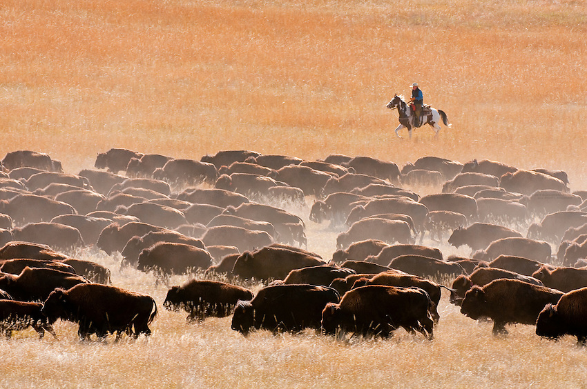 44th annual Buffalo roundup, Custer State Park, Black Hills, South Dakota USA