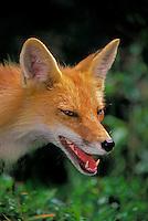 Red Fox..Summer. (Vulpes vulpes).