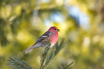 Male pine grosbeak in northern Wisconsin.