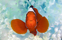 spine-cheeked anemonefish, or maroon clownfish, Premnas biaculeatus, in bleached bubble-tip anemone, Entacmaea quadricolor, Father Reefs, Bismark Sea, West New Britain, Papua New Guinea, Indo-Pacific Ocean