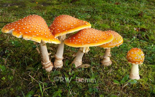 Amanita Yellow Patches mushroom