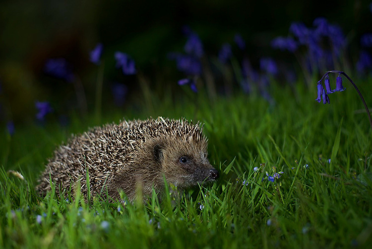 A European Hedgehog walking through Bluebell's in a garden near Corwen, North Wales at night.