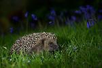 A European Hedgehog walking through Bluebell's in a garden near Corwen, North Wales at night.