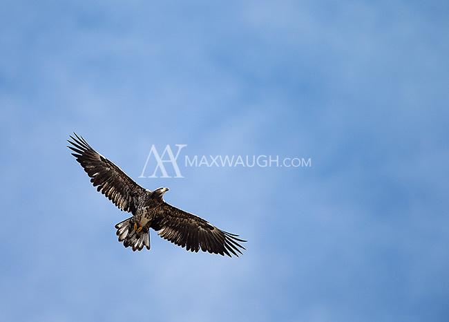 A juvenile bald eagle soars overhead.