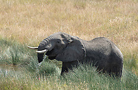 African Elephant, Loxodonta africana, drinks from a pool of water in Serengeti National Park, Tanzania. This individual has lost part of its trunk, possibly from a crocodile attack.