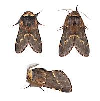 December Moth - Poecilocampa populi<br /> 66.001 BF1631