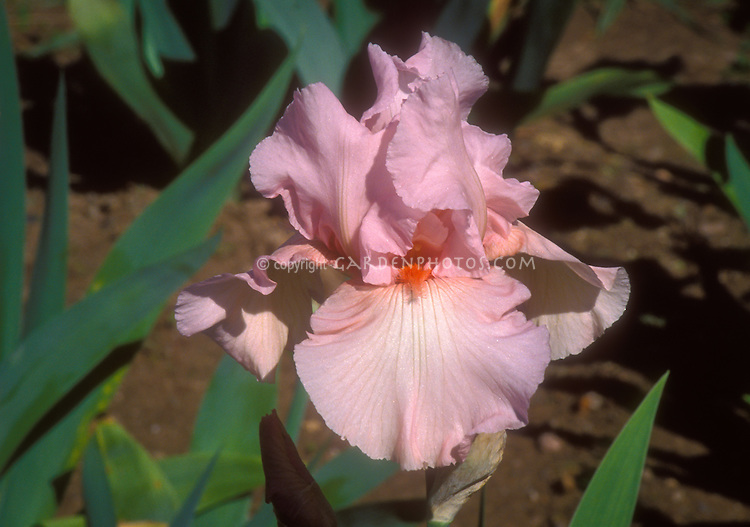 Iris 'Magical Encounter', pink with shrimp colored beard. Bred by Schreiner 1999.