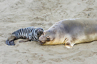 Northern Elephant Seal (Mirounga angustirostris) mom and pup hauled out on beach.  Central California coast.