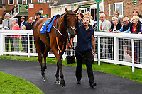 Banff trained by Olly Murphy in the parade ring during Afternoon Racing at Salisbury Racecourse on 7th August 2017