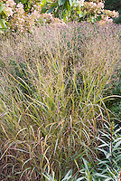 Panicum virgatum 'Shenandoah' ornamental grass in autumn