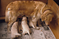 A Goldern Retriever dog with nursing puppies.