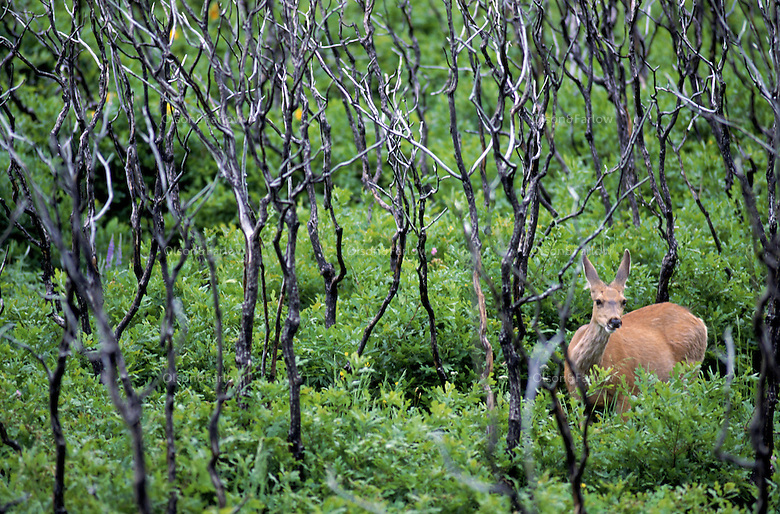 A deer eats among in the lush meadows of Mesa Verde National Park  in northwest Colorado.  The park is known for its outstanding pre-Columbian cliff dwellings of the Anasazi Indians.