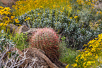 Ferocactus acanthodes, Barrel Cactus and Brittlebush, California native plants in spring, Glorieta Canyon Anza Borrego State Park with Brittlebush