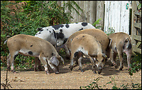 BNPS.co.uk (01202 558833)<br /> Pic: PhilYeomans/BNPS<br /> <br /> The pigs clear the poisonous acorns from the forest.<br /> <br /> Get oink my land...Pannage pigs attack rambler.<br /> <br /> A rambler has spoken of his shock after being attacked by a group of pigs at a New Forest beauty spot.<br /> <br /> The four young porkers charged Paul Lipscombe, a retired photography lecturer, as he strolled close to Mill Lawn, near Burley.<br /> <br /> The stunned 64-year-old was bitten by the lead animal, then as he backed off the others continued advancing on him.<br /> <br /> Then, while composing himself following the attack, he witnessed the same group of pigs, each as big as a medium-sized dog, charge two young women across a small river.<br /> <br /> During the pannage season pigs are released into the New Forest to eat up the acorns that can be poisonous to the ponies.
