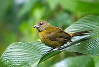 Female Passerini's Tanager, Ramphocelus passerinii, perched on a branch in Sarapiquí, Costa Rica