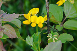 Birdsfoot Trefoil, Lotus corniculatus, on the banks of the Ipswich River, North Reading, MA