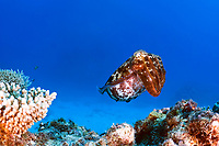 Cuttlefish, Sepia latimanus, hovering over Hardcoral, Queensland, Australia, Great Barrier Reef Nationalpark, Coral Sea, South Pacific Ocean