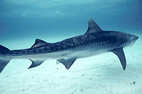 female tiger shark, Galeocerdo cuvier, with mating scars from bites of male during mating attempts, Bahamas, Caribbean Sea, Atlantic Ocean