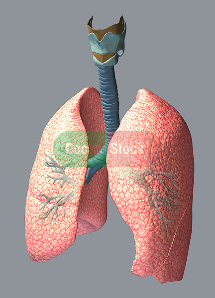3D view of the lungs and trachea, including the larynx, trachea, bronchus, right lung and left lung