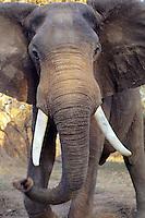 African elephant bull (Loxodonta africana)being aggressive-- bluff charging.  Mana Pools National Park, Zimbabwe.