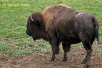 MA31-035z  American Bison - buffalo - Bison bison