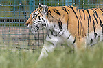 Wildlife Heritage Foundation Big Cat Sanctuary - July 2015.  Photo by David Horn/eXtreme aperture photography 07545 970036