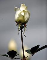 COLOMBIA- 29-01-2013 Llega febrero y los floricultores colombianos tienen la gran oportunidad de iniciar el a-o con el pie derecho gracias al d'a de San Valent'n que es por excelencia el d'a de los enamorados en Estados Unidos y Europa. Por estos d'as las plantaciones de flores en la  Sabana de Bogot? trabajan a todo marcha para surtir el mercado, para este a-o en el cual esperan incrementar sus ventas en 12% respecto al a-o anterior. (Foto: VizzorImage / Luis Ram'rez / Staff). February is coming and colombian growers have a big opportunity to start this year so well thanks to the quintessential Valentine's Day in USA and Europe. For these days the Sabana of Bogota flowers plantations are working full time to fill the market for this year and increase their sales by 12% compared to 2012. /Photos VizzorImage  / Luis Ram'rez / Staff).