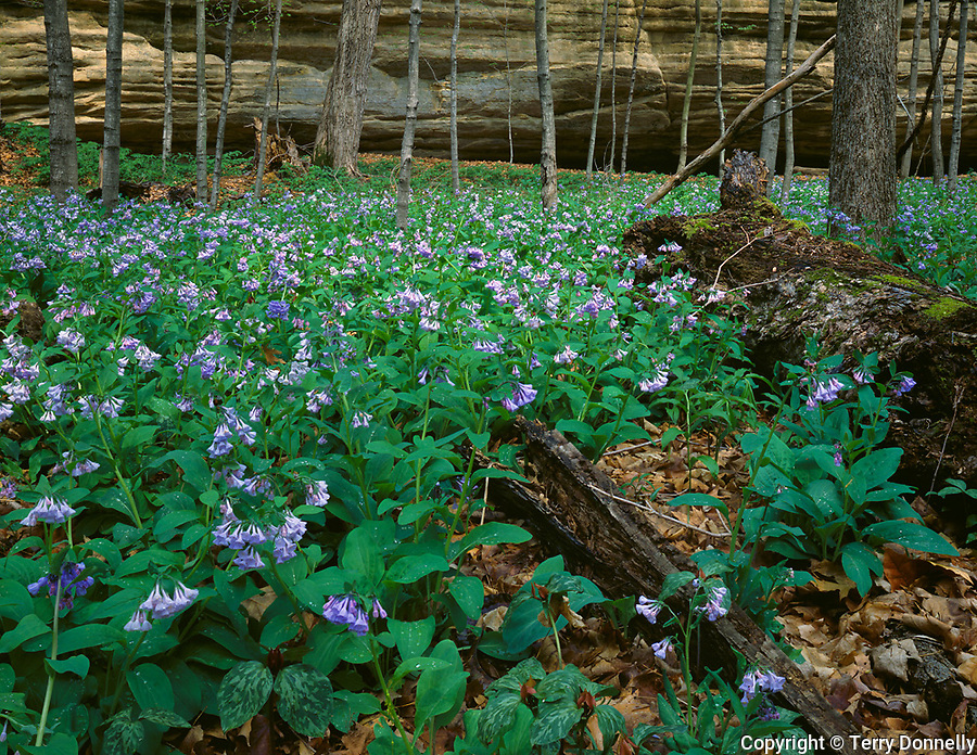 Starved Rock State Park, IL<br /> Virginia bluebells (Mertensia virginica) carpet the forest floor in Illinois Canyon