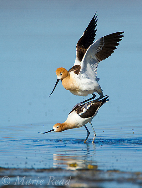 American Avocets (Recurvirostra americana) pair mating, Mono Lake, California, USA