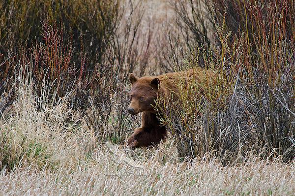 Wild Black Bear boar (cinnamon or brown color phase) walking through willows.  Western U.S., early spring.  (Ursus americanus)