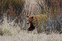 Wild Black Bear boar (cinnamon or brown color phase) walking through willows.  Western U.S., early spring.  (Ursus americanus)