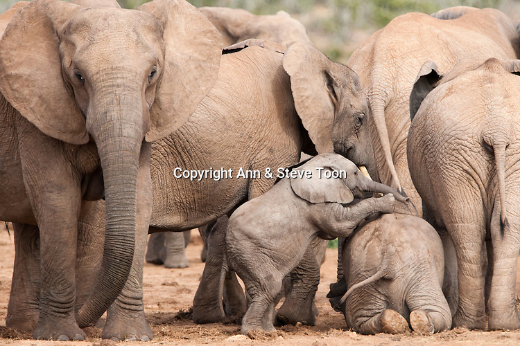 Baby elephants playing, Loxodonta africana, Addo national park, Eastern Cape, South Africa