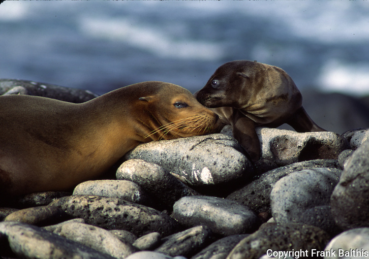 California sea lion female and pup