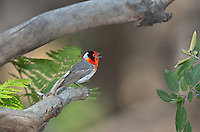 5923070002 a wild male red-faced warbler cardellina rubrifrons sings whilte perched on a log on mount lemmon near tucson arizona united states
