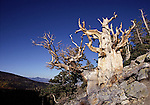 bristlecone pine tree near Wheeler Peak, Scan 22L,    FB-S178  Back small photo for 4x6 postcard.  Crop to square around tree.