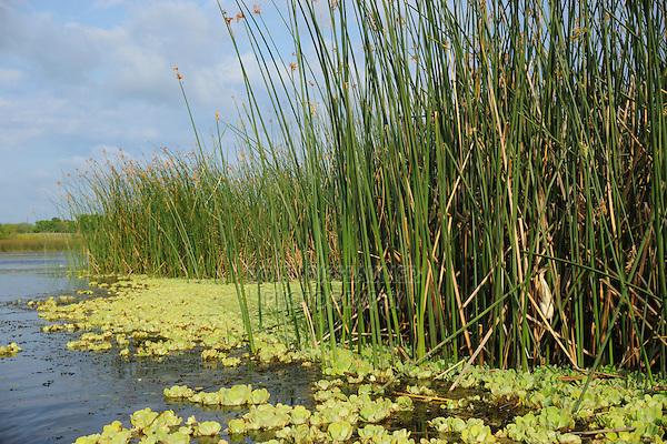 Least Bittern (Ixobrychus exilis), adult in reeds in lake habitat, Fennessey Ranch, Refugio, Coastal Bend, Texas Coast, USA