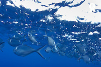 School of steel pompano fish (Trachinotus stilbe), underwater view (Licence this image exclusively with Getty: http://www.gettyimages.com/detail/200503603-001 )