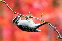 Downy Woodpecker, Picoides pubescens, clinging to the bottom of a branch.