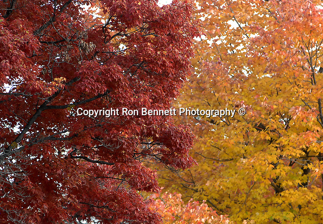 Red Orange Autumn leaves, Wonders of fall leaves in Virginia, Fine Art Photography by Ron Bennett, Fine Art, Fine Art photography, Art Photography, Copyright RonBennettPhotography.com ©