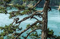 Fir Tree, Deception Pass State Park, Washington