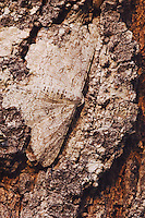 Geometer Moth, Geometridae, adult on mesquite tree bark camouflaged, Willacy County, Rio Grande Valley, Texas, USA, June 2006