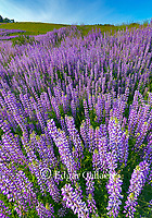Lupin, Childs Hill Prairie, Redwood National Park, California