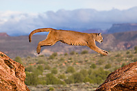 Cougar jumping between two rocks - CA