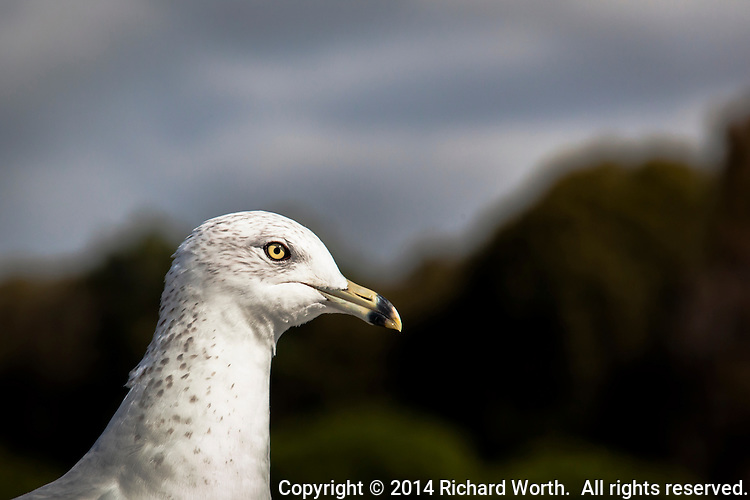 A Ring-billed gull tolerates being photographed along the San Francisco Bay Trail.