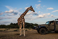 A giraffe, affectionately named, Buttercup, moves closer to hunting guide Buck Watson as he looks on from a vehicle, at the Ox Ranch, on the 15th of August, 2017 in Uvalde, Texas, USA. <br /> Photo Daniel Berehulak for the New York Times<br /> The Giraffe's are bred but not hunted on the OX ranch.