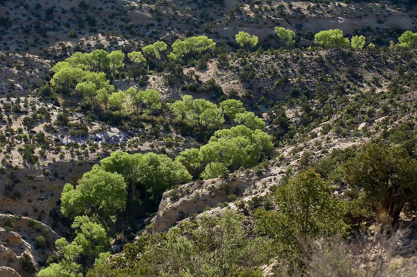 Cottonwoods (Populus fremontii), Calf Creek, Grand Staircase, Escalante National Monument, Utah.