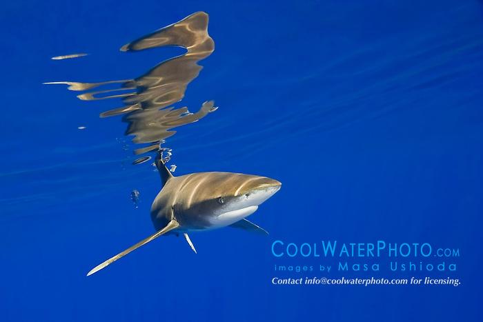 oceanic whitetip shark, Carcharhinus longimanus, with surface reflection, Kona Coast, Big Island, Hawaii, USA, Pacific Ocean