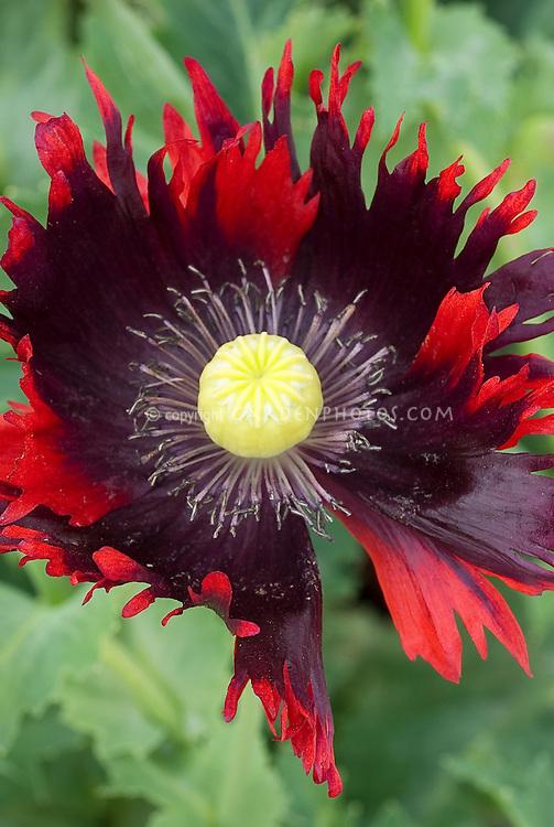 Papaver somniferum burgundy frills poppies plant flower stock opium poppy papaver somniferum burgundy frills a frilly petal type of opium poppy flowers mightylinksfo