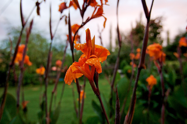 Flowers after the monsoon rain, Srinigar, Kashmir