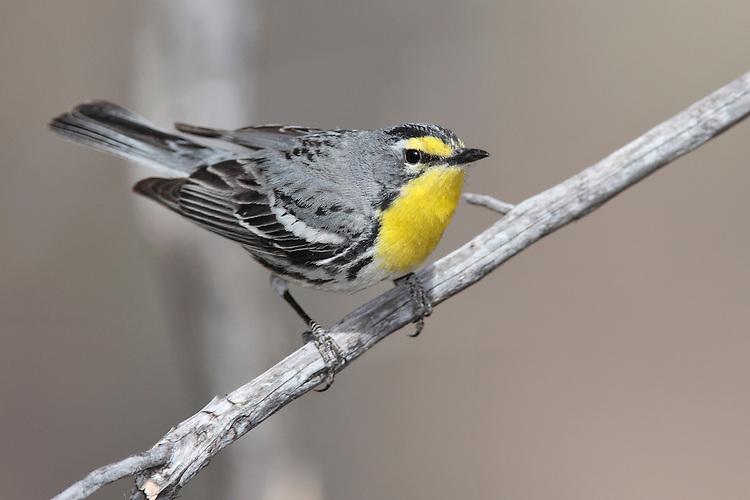 Grace's Warbler - Dendroica graciae- male